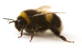 A-Bumblebee-007