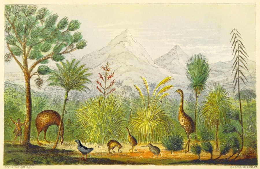 New Zealand Kiwi, Takahe, Extinct Moa, 1870