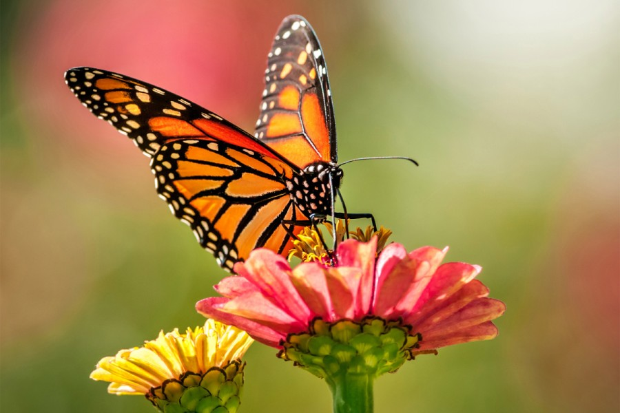 170908-monarch-butterflies-extinction-feature.jpg