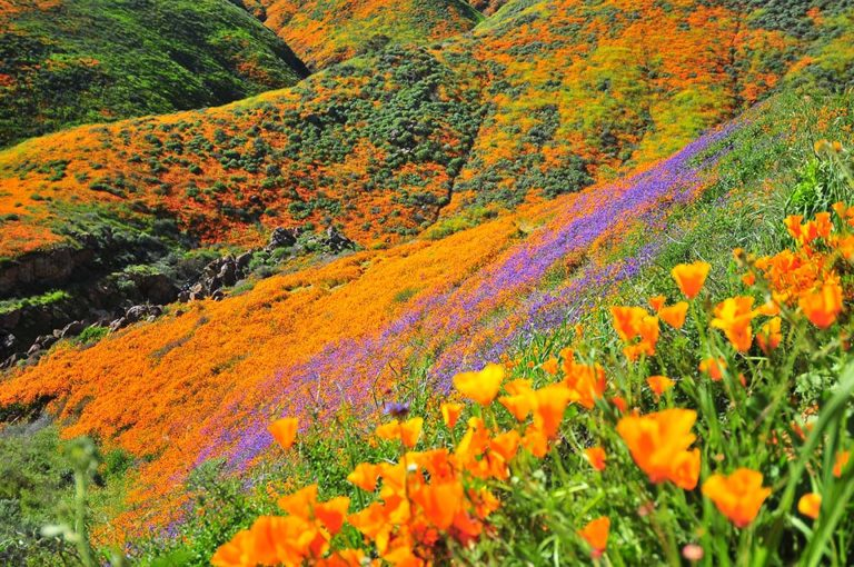Lake-Elsinore-blooms-2019-2-640-768x510